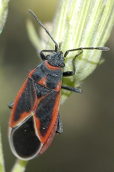 Lygaeid possibly Melacoryphus admirabilis on Brickellis - Melacoryphus admirabilis