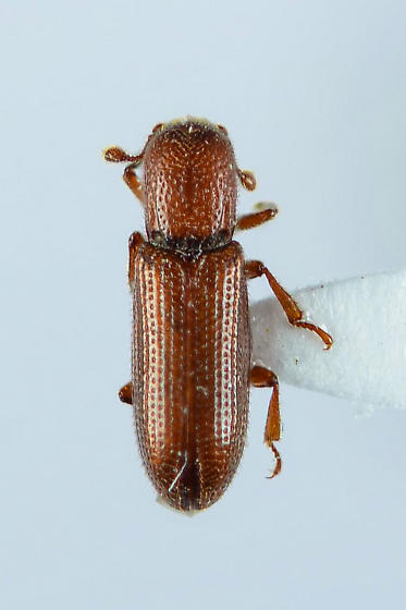 Unknown.... - Oxylaemus californicus