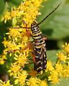 Beetle ID Request - Megacyllene robiniae