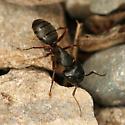 Black Ant - Camponotus herculeanus