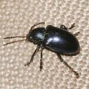Iridescent blue beetle - Chrysochus cobaltinus
