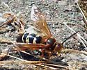 Hornet? - Sphecius speciosus