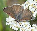 Butterfly species? - Lycaena