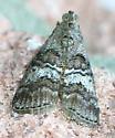 Pyralid Moth - Pococera asperatella
