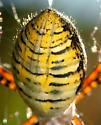 abdominal dorsum, banded argiope - Argiope trifasciata - female