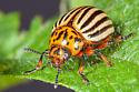 Colorado potato beetle - Leptinotarsa - female