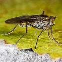 Unknown Fly - Hydrophorus