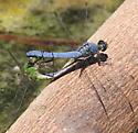 Mating Dragonflies - Erythemis collocata