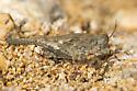 Pygmy Grasshopper - Paratettix mexicanus - female