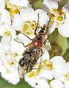 Dilophus sp. - Dilophus - male - female