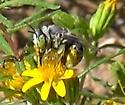 Desert Anthophorine Bee - Anthophora - female