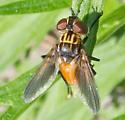 Unidentified Fly - Trichopoda pennipes