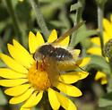 which bee fly? - Systoechus vulgaris