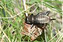 Fall Field Cricket - Gryllus pennsylvanicus - female