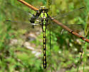 Brook Snaketail - Ophiogomphus aspersus - female