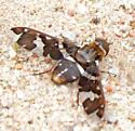 Chrysops (flavidus group) ? - Exoprosopa caliptera