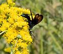 Tarantula Hawk Wasp (Pepsis mildei)? - Pepsis mildei - male