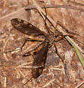 Dark-winged crane fly - female