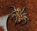 Unknown Wolf Spider #2 - Hogna carolinensis - female