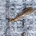 Plecoptera  - Kathroperla perdita