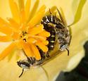 Calliopsis obscurella - male - female