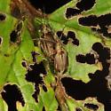 Viburnum Leaf Beetles - Pyrrhalta viburni - male - female