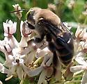 Large, unfamiliar bee-Protoxaea? - Centris caesalpiniae