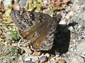 brownish moth with distinct pattern on wings - Erynnis propertius - female