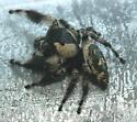 Jumping Spider - Phidippus otiosus - male