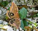 Polyphemus Moth at our home - Antheraea polyphemus
