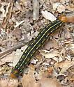 Caterpillar - Hyles lineata
