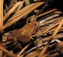 Nocturnal cricket? - Pristoceuthophilus