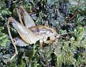 Camel cricket -- Genus Pristoceuthophilus - Pristoceuthophilus celatus - male