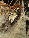 Cicada killer w/ prey - Sphecius speciosus - female