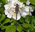 Dragonfly - Gomphaeschna furcillata - female