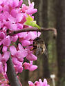Anthophora villosula Digger Bee Spring Red Bud - Anthophora villosula