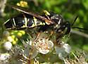 Flower Bee - Stratiomys badia