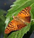 Nymphalidae - Asterocampa clyton
