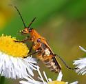 unknown - Chauliognathus marginatus