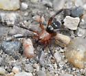 Fast Ant Mimic Spider