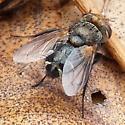 Tachinidae - female
