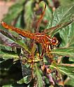 Dragonfly   common name - Libellula saturata - female