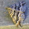 Medium Moth - Xanthorhoe lacustrata