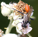 thread-waisted wasp - Prionyx canadensis - female