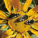Buprestid - Acmaeodera amabilis