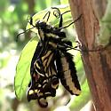 Just eclosed - Papilio zelicaon