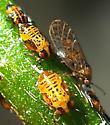 Psyllid Colony - Acizzia uncatoides
