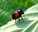 Black and red beetle - Cryptocephalus notatus