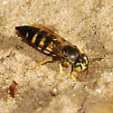 Horse Guard Wasp - Bicyrtes quadrifasciatus - female