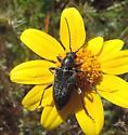 Coleoptera, unid. - Brachysomida californica